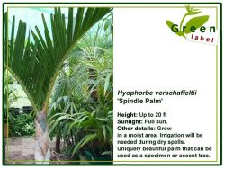 Palm-Greenlabel-Bonaire